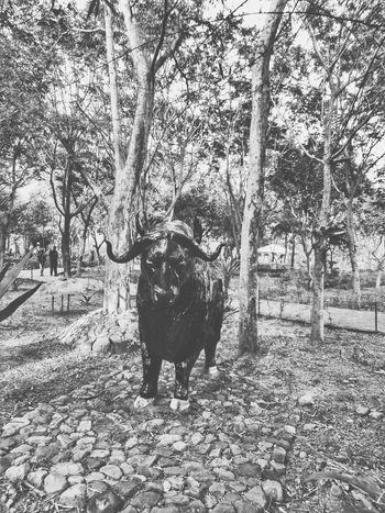 Stock Market And Exchange Stockmarket Stock Market Bull Bull Market Bulls Forest Photography Blackandwhite Monochrome Photography Monochrome Monochromatic Monochrome _ Collection Outdoors Dog Day Animal Themes Park - Man Made Space Tree Domestic Animals Nature Mammal Pets