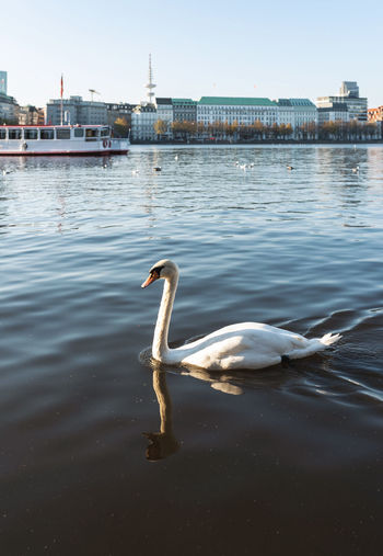 Side view of swan swimming in river at city