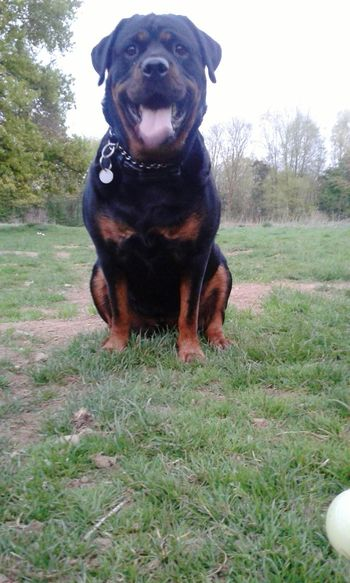 Rottweilergirls Dog❤ Hunderunde Freya <3 My Dogs Are Cooler Than Your Kids I Love My Dog From My Point Of View Dogs Of EyeEm Ich Liebe Meinen Hund! Rottweiler