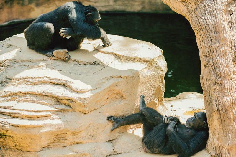 Close-up of chimpanzees sitting on rock at zoo