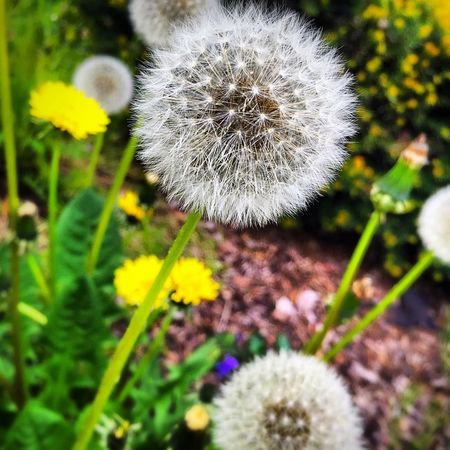 Flower Fragility Dandelion Growth Nature Freshness Plant Flower Head Blossom Wildflower Beauty In Nature White Color Softness Springtime Outdoors Close-up Day