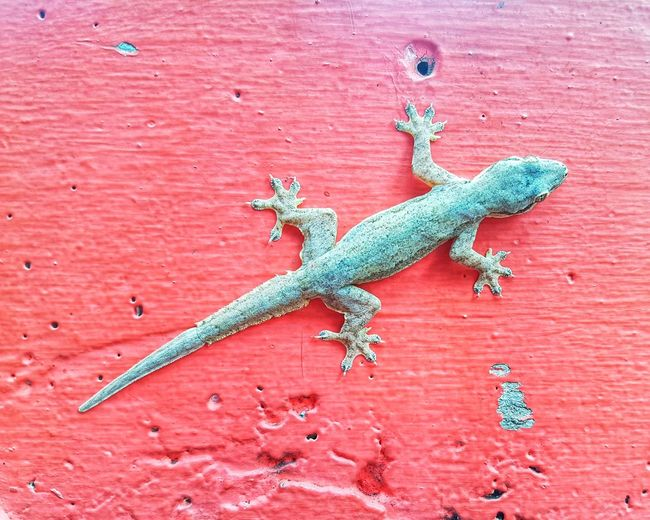 Gecko on a red wall Full Length Overhead View Red Wall Wall Thailand Animal Encounter Common Gecko House Gecko Macro Red Colourful Reptile Eye Reptile Skin Animal Animals In The City Animal Pattern Climbing Clinging Sticky Feet Reptile Lizard Close-up Gecko EyeEmNewHere
