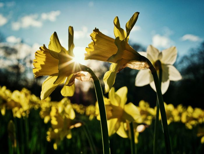 Spring has sprung 🌼 Plant Flower Flowering Plant Sunlight Growth Beauty In Nature Sky Nature Freshness Yellow No People Field Day