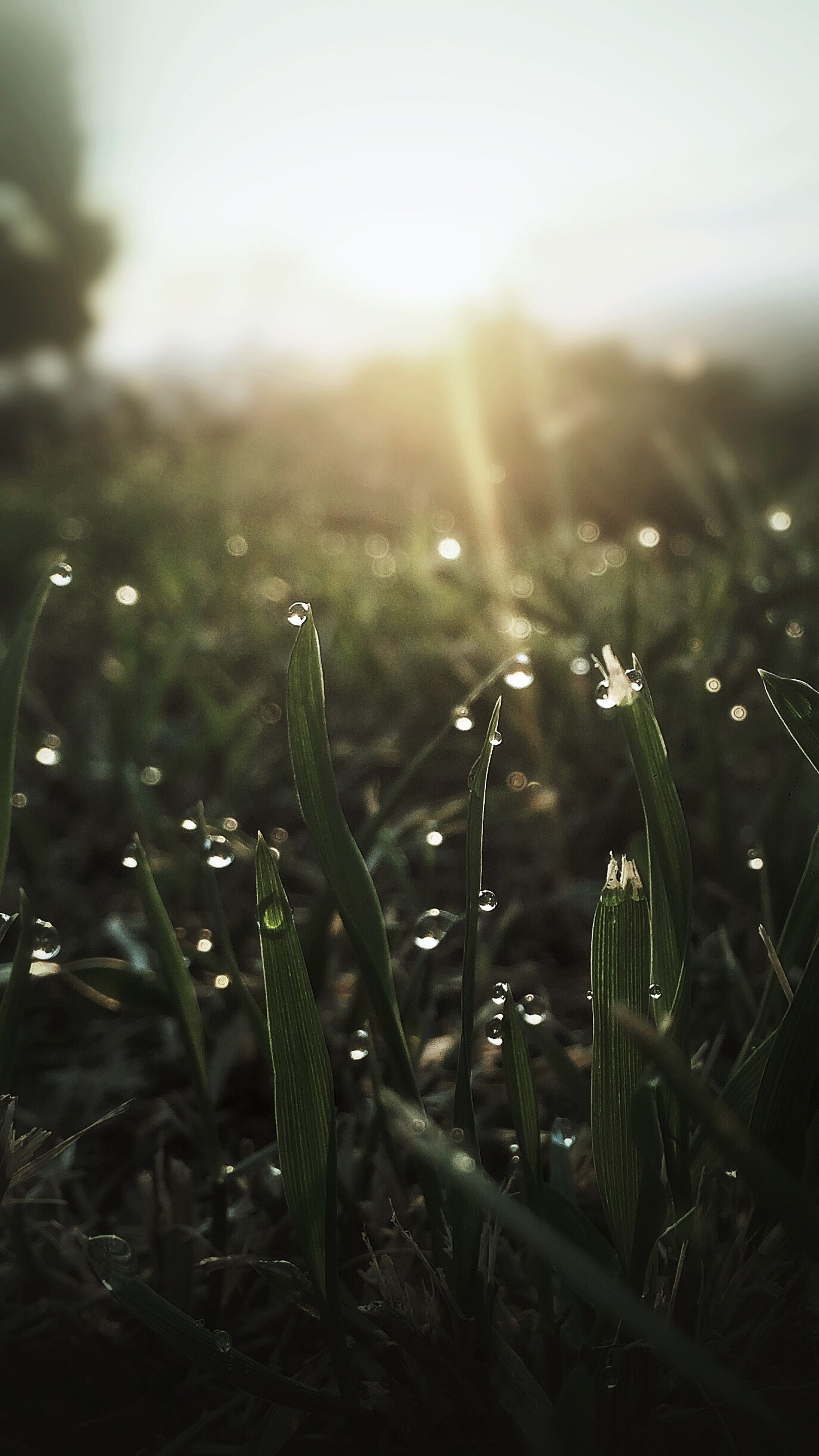 growth, sunlight, sunbeam, field, plant, grass, close-up, focus on foreground, beauty in nature, nature, lens flare, landscape, rural scene, tranquil scene, tranquility, sun, bright, agriculture, dew, crop, scenics, farm, green color, blade of grass, sky, freshness, wheat, day, outdoors, grassy, dawn, non-urban scene