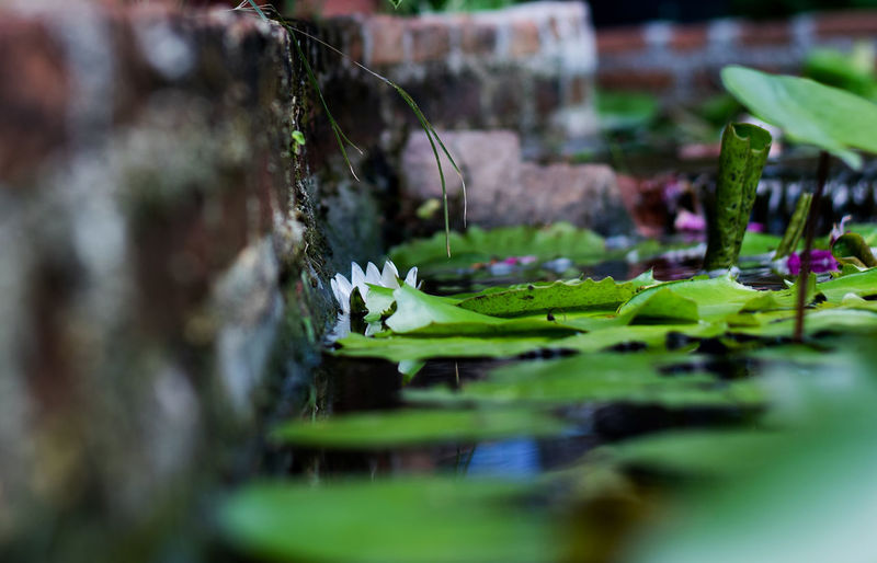 Lotus Flower Water Pond Nature Blossom Beautiful Pink Garden Green Bloom Beauty White Waterlily Plant Flowers Summer Lake Flora Lily Aquatic Petal Background Blooming Botanical Spring Single Tropical Bright Floral Surface Oriental Botany Color Leaf Medicine Foliage Exotic Floating Blue