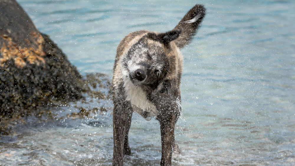 - BEACH CONTROL - Animal Animal Head  Curiosity Dog Domestic Animals One Animal Pets Relaxing Wildlife Dog Love I Love My Dog Animals Shaking Drops Waterdrops Splash Animal Photography Animal Portrait Outdoor Photography Outdoors Water Capturing Motion
