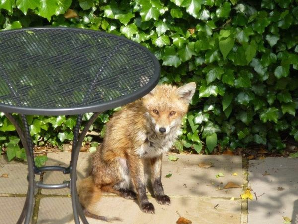 Suburban friend Suburban Fox Fox Énglish Country Garden Garden Surprise Visitor Wild EyeEm Nature Lover Nofilter Animals In The Wild Wildlife Wildlife & Nature Wildlife Photography Wild Animal Lieblingsteil Surprise Visit EyeEmNewHere