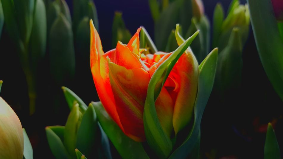 Tulips🌷 Bulbs Spring Flowers Springtime Colors Tulips Nature Flowers Flowerporn Orange Orange Color Flower Flowers, Nature And Beauty Spring Is Coming  EyeEm Nature Lover Eye Em Nature Lover Colorful ArtWork Spring Tulpen Nature Photography Tulips Flowers Tulipa Nature_perfection Nature_collection