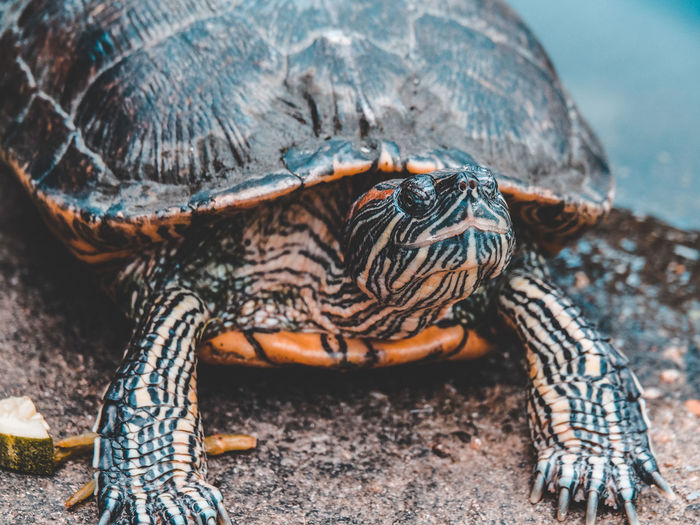 The turtles crawl out of the pond. Pond Animal Animal Body Part Animal Shell Animal Themes Animal Wildlife Animals In The Wild Close-up Crawl Day Focus On Foreground Nature One Animal Outdoors Reptile Tortoise Turtle Vertebrate Water Zoology