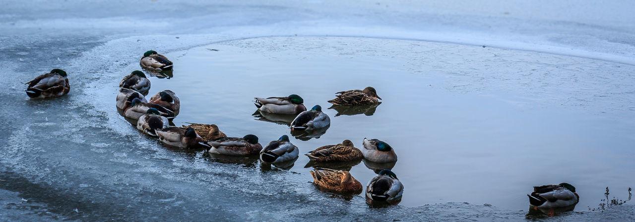 Ducks Swimming In Lake During Winter
