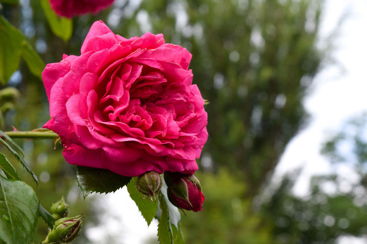 Shrub rose, beautiful red Rose close up Red Shrub Roses Beauty In Nature Close-up Day Flower Flower Head Flowering Plant Focus On Foreground Fragility Freshness Growth Inflorescence Nature No People Outdoors Petal Pink Color Plant Red Rose Rosé Rose - Flower Roses Springtime Vulnerability