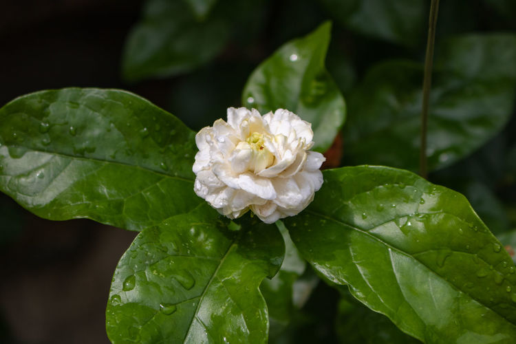 Close-up of white rose on leaves