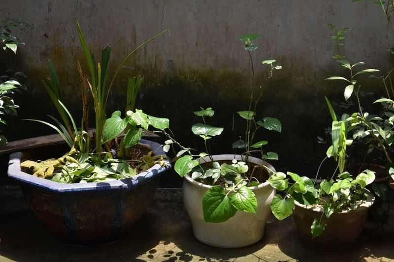 Imperfection Green Green Color Potted Plant Plant Sunshine Noon Summer Summertime Tree Shade Shadow Beautiful Showing Imperfection Showcase April Up Close Street Photography Nature Nature_collection Nature Photography Naturelovers Nature On Your Doorstep Literally Hanoi Vietnam