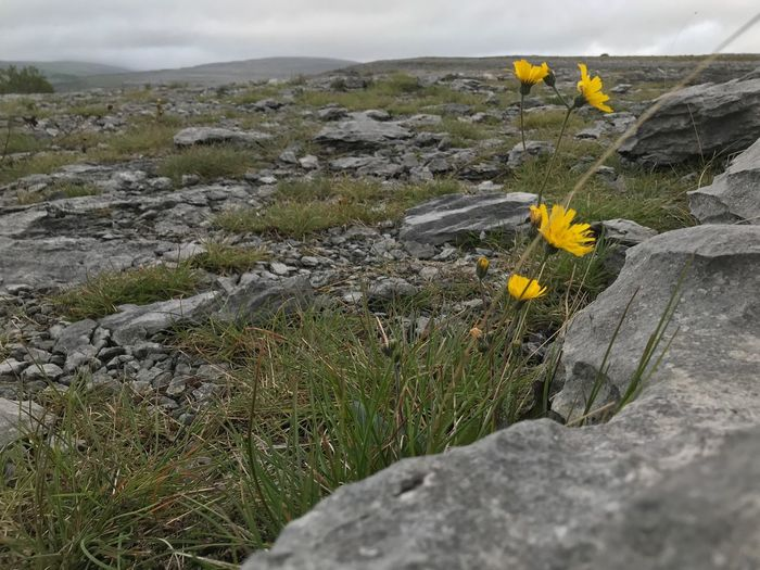 Lonesome flower The Burren - National Park Ireland Irish Nature Rock No People Rock - Object Solid Day Land Outdoors Environment Burro National Park Beauty In Nature Burrito