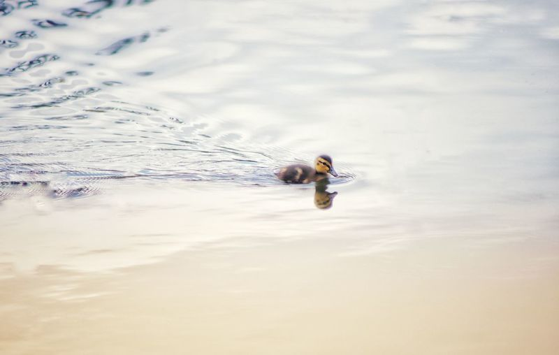 High angle view of duckling swimming