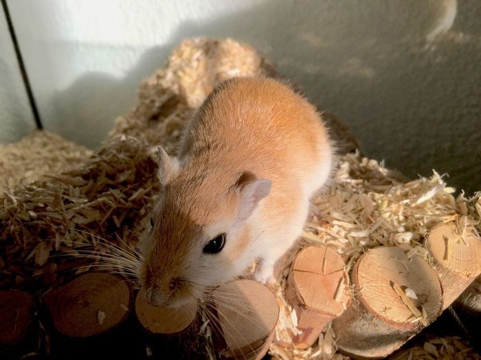 Gerbil Gerbils Animal Themes Close-up Domestic Animals Mammal Mice Mouse One Animal