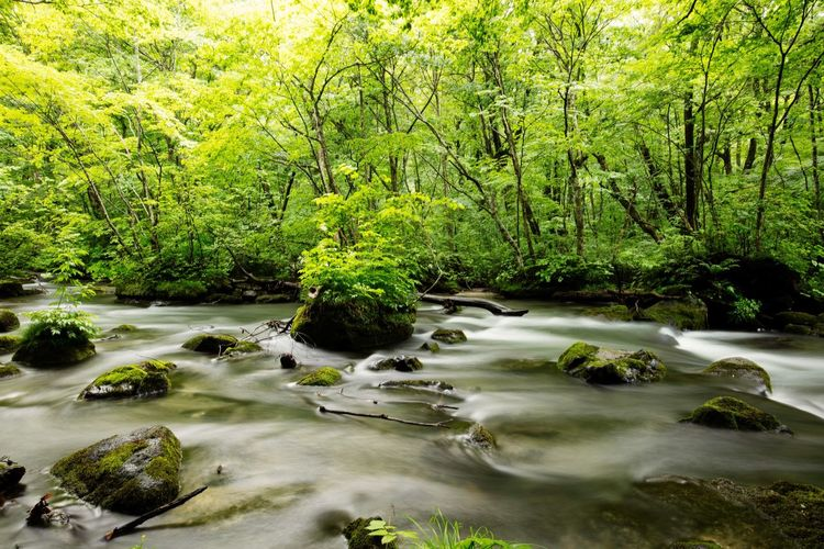 Stream Headwaters Flow  Rocks Moss Fern Green Forest Exploring Long Exposure Canon Canonphotography Canon5DSR EF16-35mmF4LIS USM Oirase Towada  Aomori Japan
