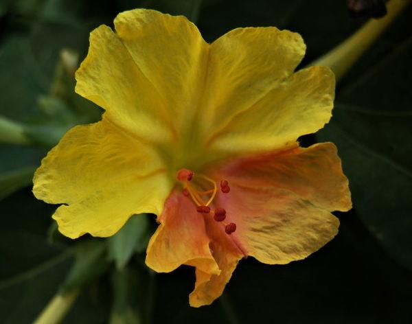 Mirabilis jalapa flower Bigphotolancer Mirabilis Jalapa Red Yellow Flowers