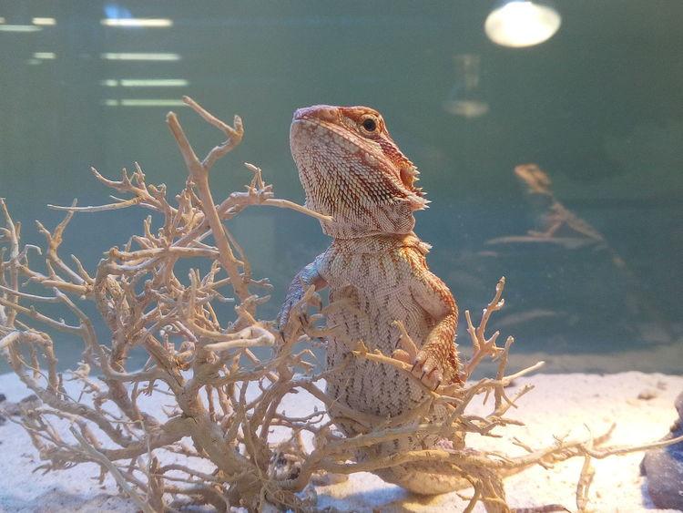 Pogona Agamalizard Agama Lizards Agama Animal Themes Pet Portraits