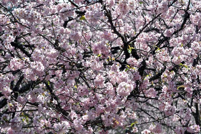 Flower Flowers EyeEmBrasil Streetphotography Eye4photography  Nature Nature_collection Cerejeira New Talent EyeEm Nature Lover EyeEm Flower EyeEm Best Shots - Flowers