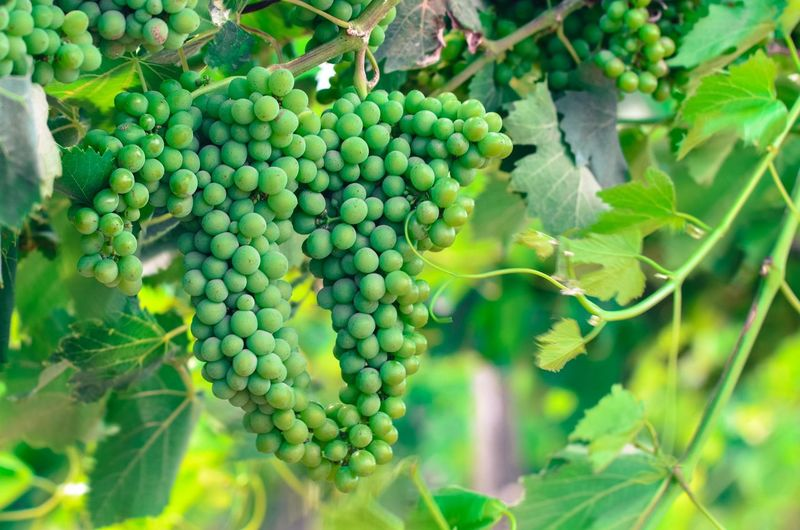 Green Green Grapes Grapes Grapes 🍇 Grapes Nature Photography Grapes On The Vine Nature Growing Green Nature Tree Vine - Plant Rural Scene City Fruit Wine Leaf Winemaking Agriculture Grape Vine Creeper Plant Plantation Cultivated Farmland Cultivated Land Agricultural Field Juicy Vineyard Red Grape Wisteria