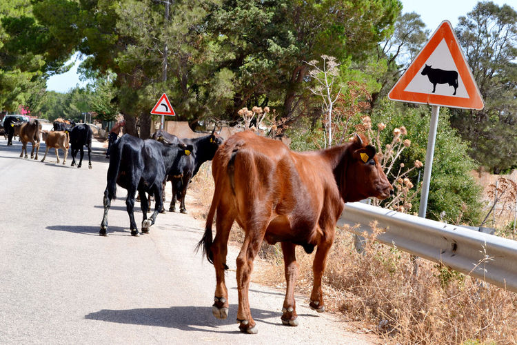 Animal Hair Animal Themes Country Road Cows Day Domestic Animals Full Length Green Color Guidance Herbivorous Livestock Mammal Outdoors Road Road Sign Transportation Walking Working Animals