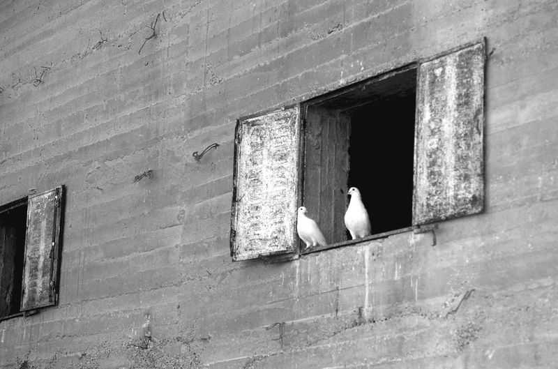 Animal Themes Animals In The Wild Aperture Architecture Bay Bird Building Exterior Built Structure Colombe Colombes Concrete Wall Day Dove Doves Mourning Dove No People Outdoors Perching Perching Birds Perching Doves Wall White White Birds White Color