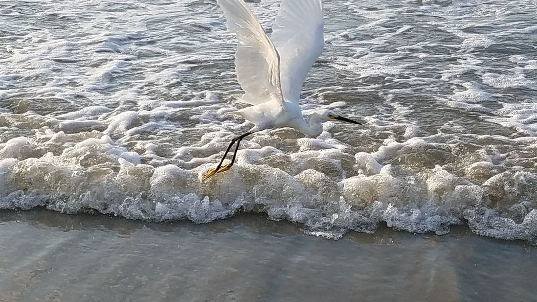 Fly Wings Beautiful Egret Bird NoEditNoFilter Bird Photography Hilton Head Island, SC Hilton Head SC Beauty In Nature One Animal Animal Themes Ocean Beauty Sand Surf Waves Water Detailed White Fly Away Foamy Sea Beach