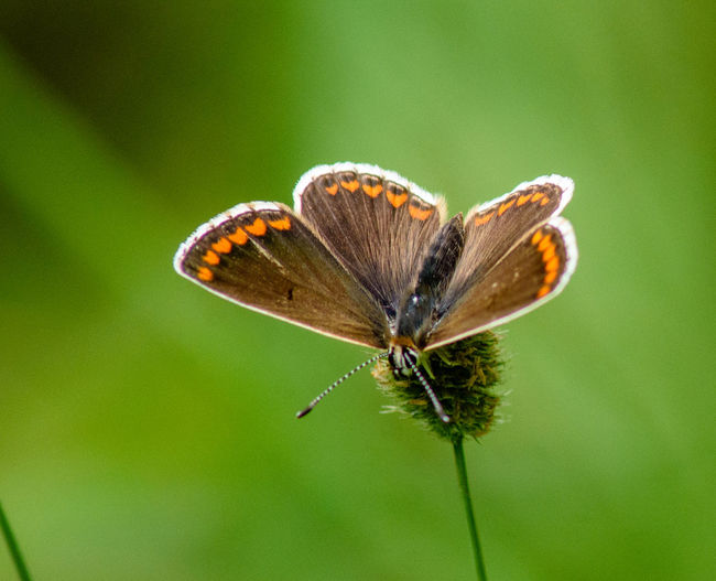 Brown argus (Aricia agestis) photographed in Suffolk, UK Aricia Agestis Brown Argus Animal Wing Beauty In Nature Butterfly Butterfly - Insect Butterfly Collection Butterfly On Flower Fragility Insect Invertebrate Pollination Vulnerability