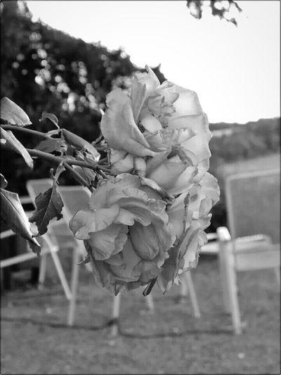 Darmstadt Rosenhöhe Roses Monochrome Places Enjoying Life