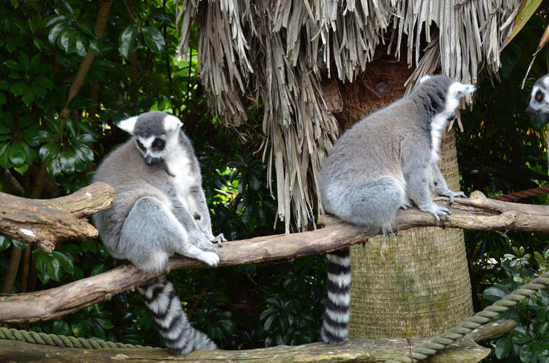 Lemurs Sitting On Wooden Fence At Zoo