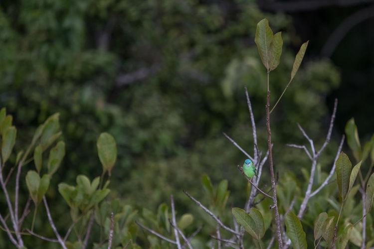 "Photography of the female ""saí-azul"" bird in its natural habitat, Amazon Rainflorest. Beauty In Nature Bird Photography Birds Birds Collections Green Color Nature No People Outdoors Passaros Da Amazonia Plant Amazon Bird Amazonas-Brasil"