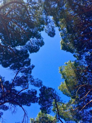 Hello World Sky Green Pinetrees Nature_collection Relaxing Plants Colors Trees Nofilter Sun Sun Light Through Trees Tranquility Nel Blu Dipinto Di Blu. Blue Sky Green Color Happy Dream Dreaming No People Outdoors Branches Branches And Sky