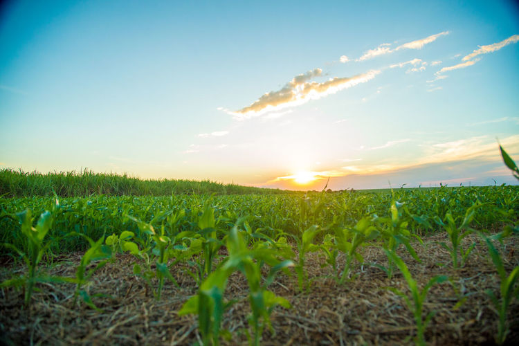 Agriculture Beauty In Nature Cereal Plant Crop  Day Farm Field Green Color Growth Landscape Nature No People Outdoors Plant Rural Scene Scenics Sky Sorghum Sunlight Sunset Tranquil Scene Tranquility