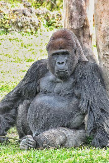 Gorilla sitting by tree on grassy field