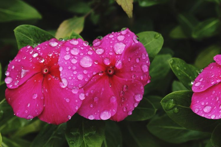 Drop Water Wet Growth Leaf Nature Plant Pink Color Petal Freshness Beauty In Nature Flower Flower Head RainDrop Fragility Close-up Periwinkle Blooming Day No People