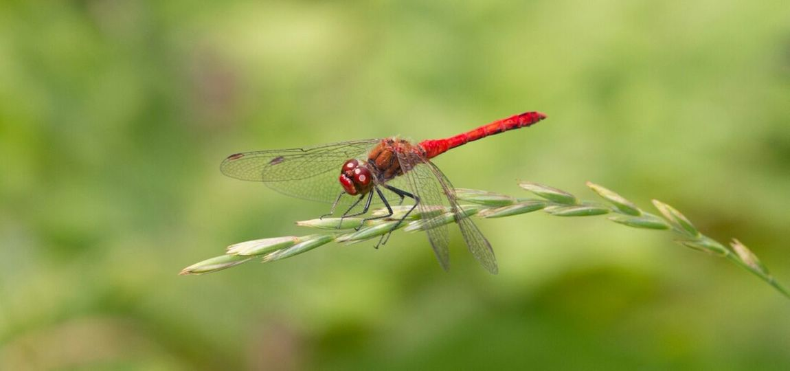 Dragonfly Macro Red Nature