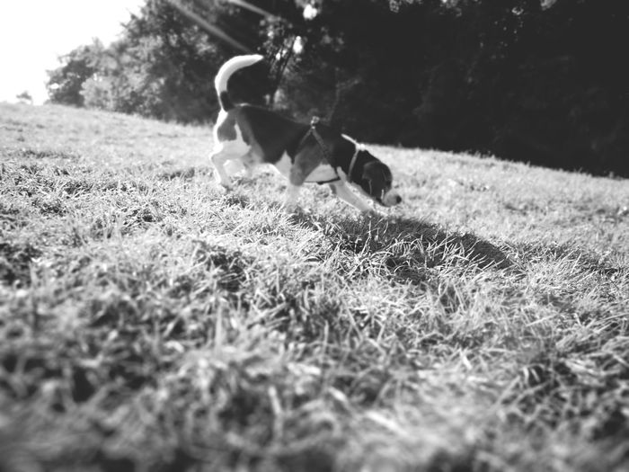 Dog Pets One Animal Domestic Animals Grass Animal Animal Themes Puppy Mammal No People Day Outdoors Jumping Nature Beagle The Purist (no Edit, No Filter) No Edit/no Filter Monochrome Monochrome Photography Black And White Black And White Photography