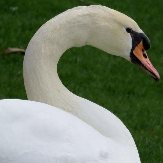 Swan Swantastic Swan Series Bigbird