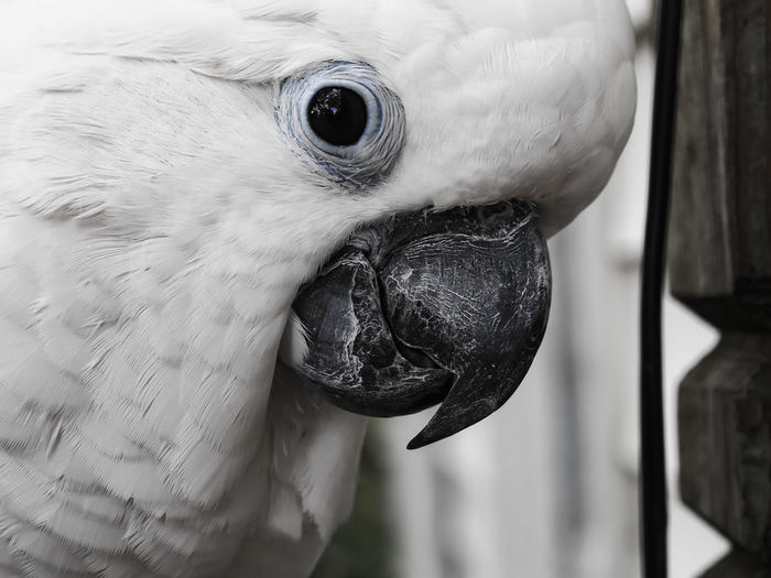 Clara the cockatoo Cockatoo Feathers Animal Eye Animal Head  Animal Themes Beak Bird Close-up Day Desaturated Domestic Animals Exotic Pets Leafy No People One Animal Outdoors Parrot Pets Portrait White Color