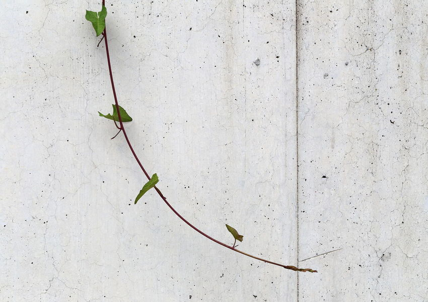 Bindweed growing down on concrete wall. Architectural Detail Architecture And Nature Fine Art Photography Bindweed Still Life Calystegia Close-up Concrete Convolvulaceae TakeoverContrast Downwards Simplicity Scarceness Abstract Green Grey Growth Copy Space Lines Lonely Minimalism No People Shoot Wall Zaunwinde