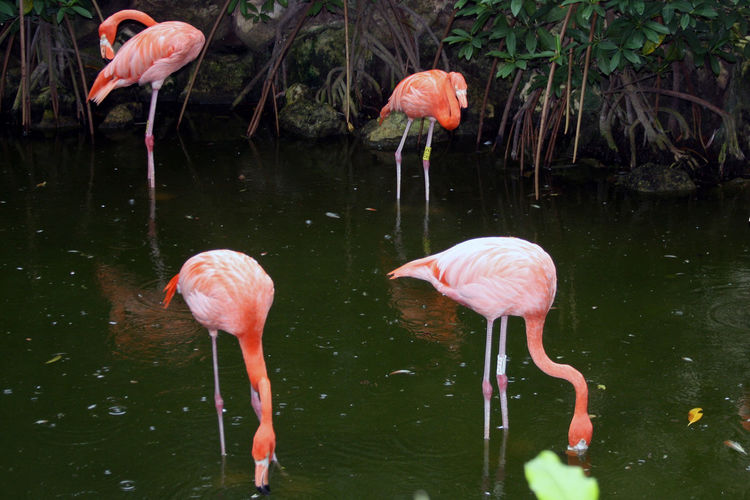 High angle view of flamingos in pond