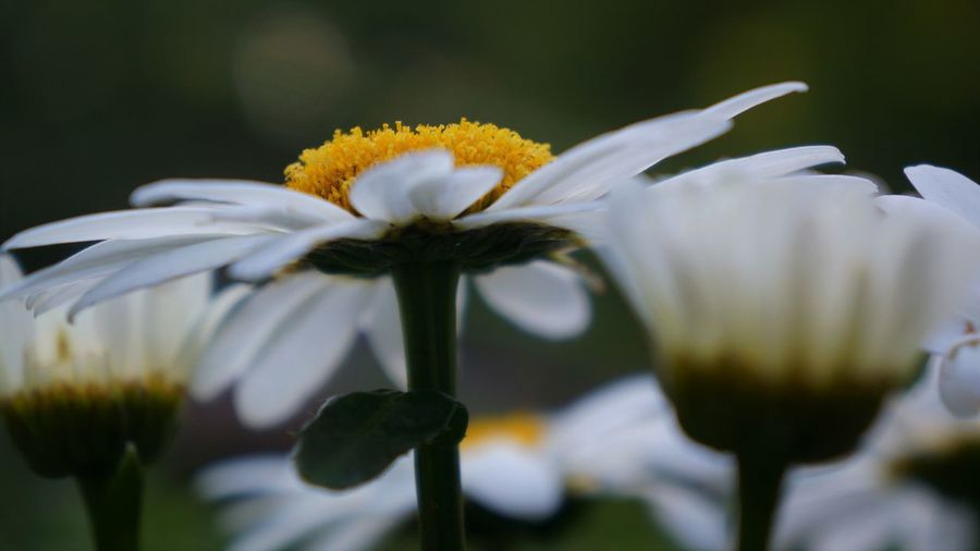 Shasta Daisies Daisy Beauty In Nature Close-up Day Flower Flower Head Flowering Plant Focus On Foreground Fragility Freshness Growth Inflorescence Nature No People Outdoors Petal Plant Pollen Selective Focus Side View Vulnerability  White Color Yellow