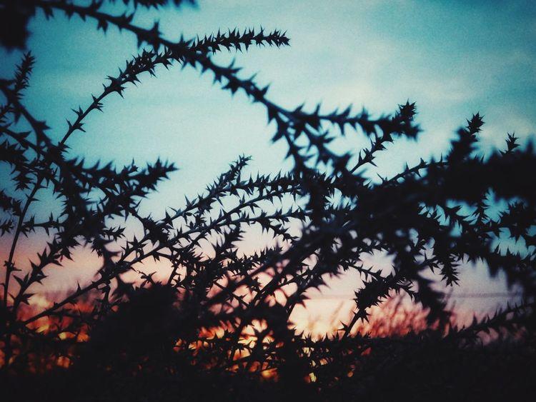 Tumbleweed Defocused Autumn Silhouette Sunset Pinaceae Sky The Great Outdoors - 2018 EyeEm Awards