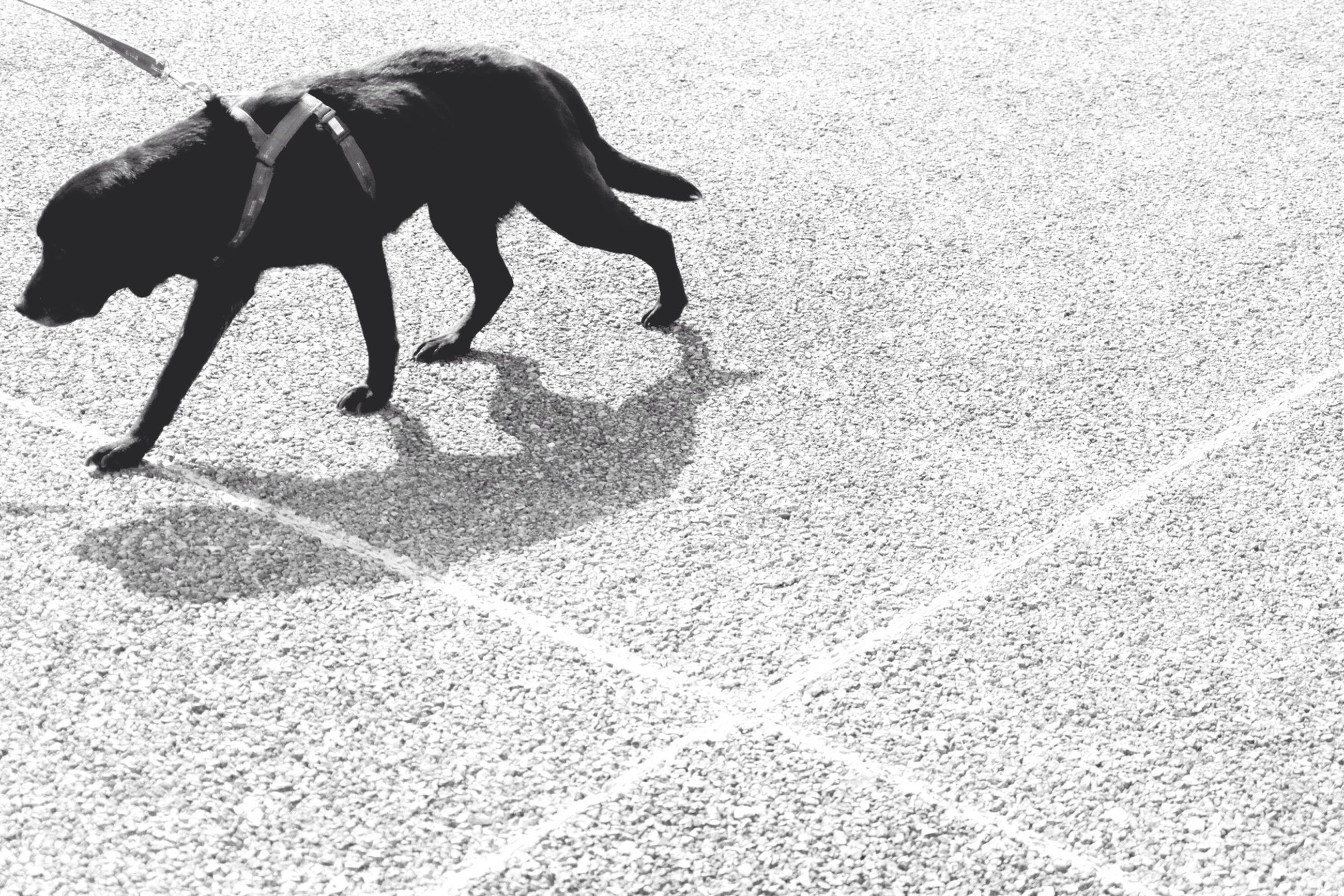 animal themes, one animal, domestic animals, pets, mammal, dog, high angle view, shadow, street, sunlight, walking, day, sidewalk, outdoors, footpath, flooring, tiled floor, no people, black color, pavement
