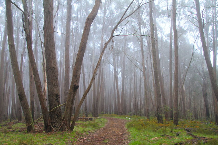 Deep in the woods Eucalyptus Trees High Country Misty Morning Light Path Through The Trees Path Through The Woods Autumn Beauty In Nature Branch Day Dense Forest Fog Forest Landscape Mist Morning Fog Nature No People Outdoors Scenics Tall Trees Trail Tranquility Tree Tree Trunk WoodLand EyeEmNewHere