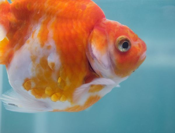 Close-up One Animal No People Water Underwater Swimming Indoors  Animal Themes Sea Life Nature Day Goldfish In Water Tokyo Goldfish Fish funabori EyeEmNewHere Sommergefühle EyeEmNewHere Neon Life Investing In Quality Of Life The Week On EyeEm Pet Portraits