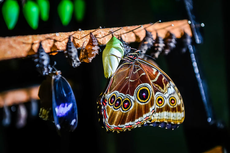 Close-up of Morpho peleides butterfly and chrysalis Beauty Bug Butterfly Chrysalis Closeup Cocoon Evolution  Evolve Hang In A Row Insect Larva  Life Cycle Metamorphosis Butterfly Modify Morpho Peleides Nature No People Pattern Pupa Stages Stages Of Life Transform Wild Wildlife