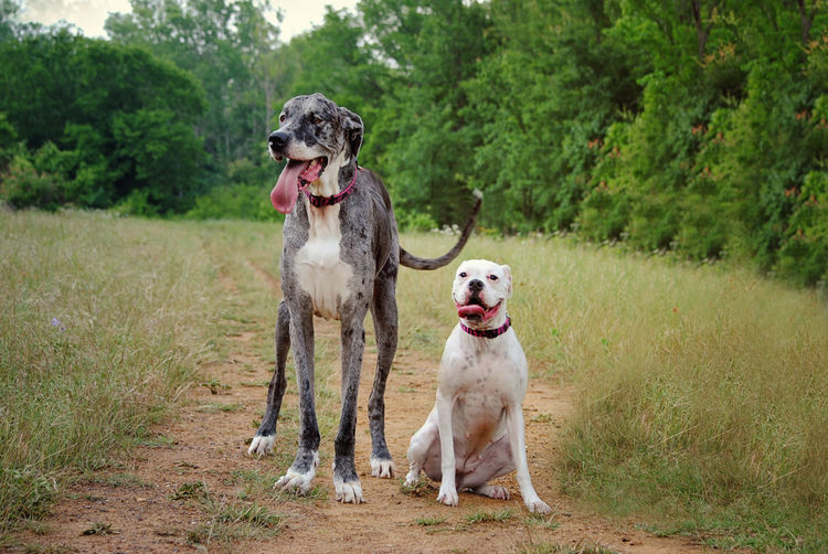 Great Dane And American Bulldog On Field