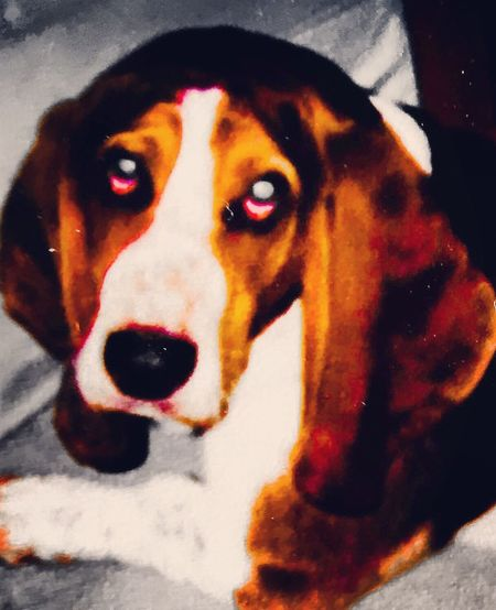 My Auggie as a baby Puppies That's Me Enjoying Life Bassetphotography Bassetmoments Color Portrait Colorphotography LovingLife Iphonephotography Posing For The Camera Luvthisboy Bassethounds